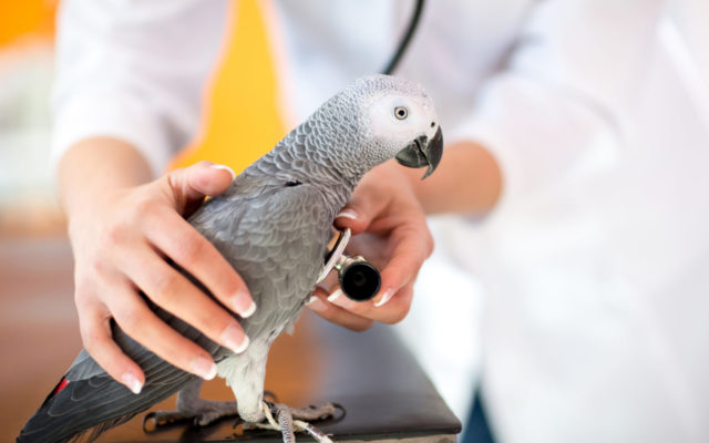 Examination of sick parrot with stethoscope at vet clinic