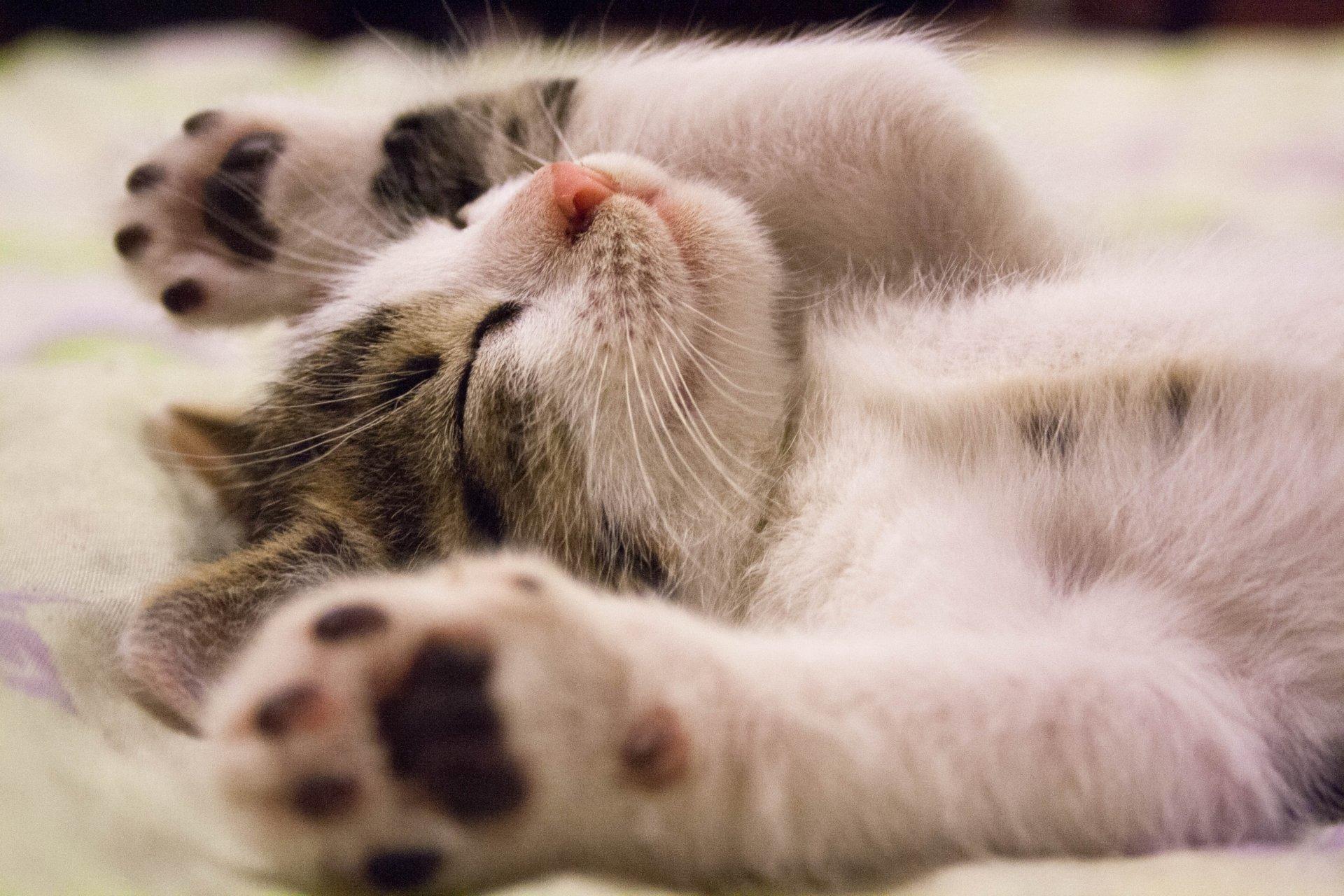 Kwinana Vet Kitten