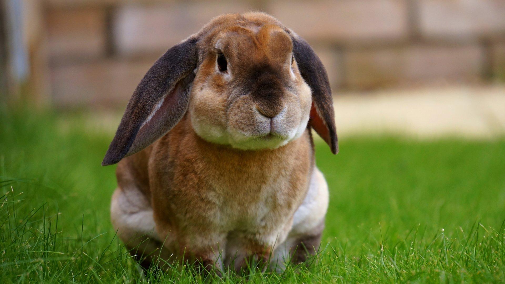 Kwinana Vet Rabbit
