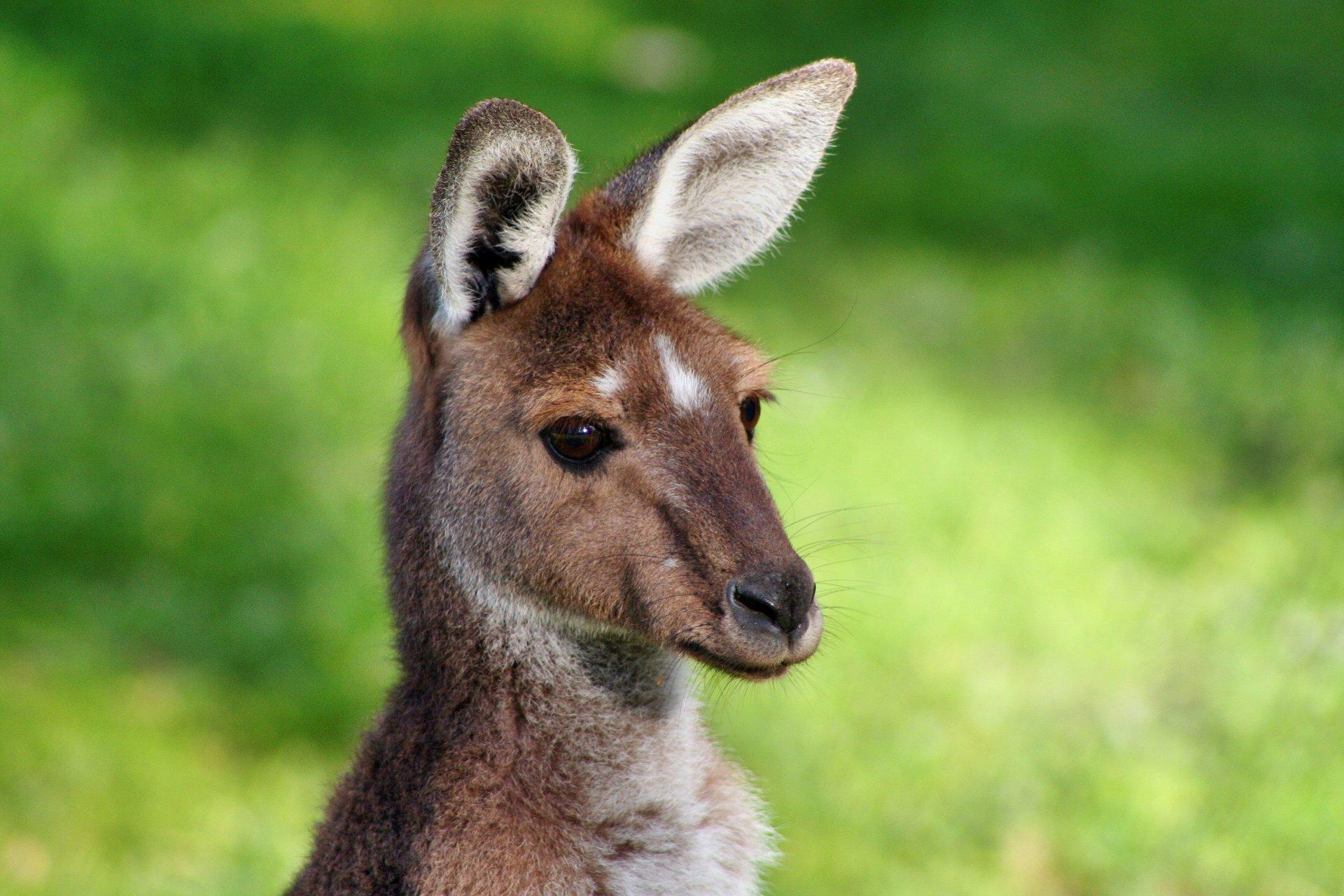 Kwinana Vet Kangaroo